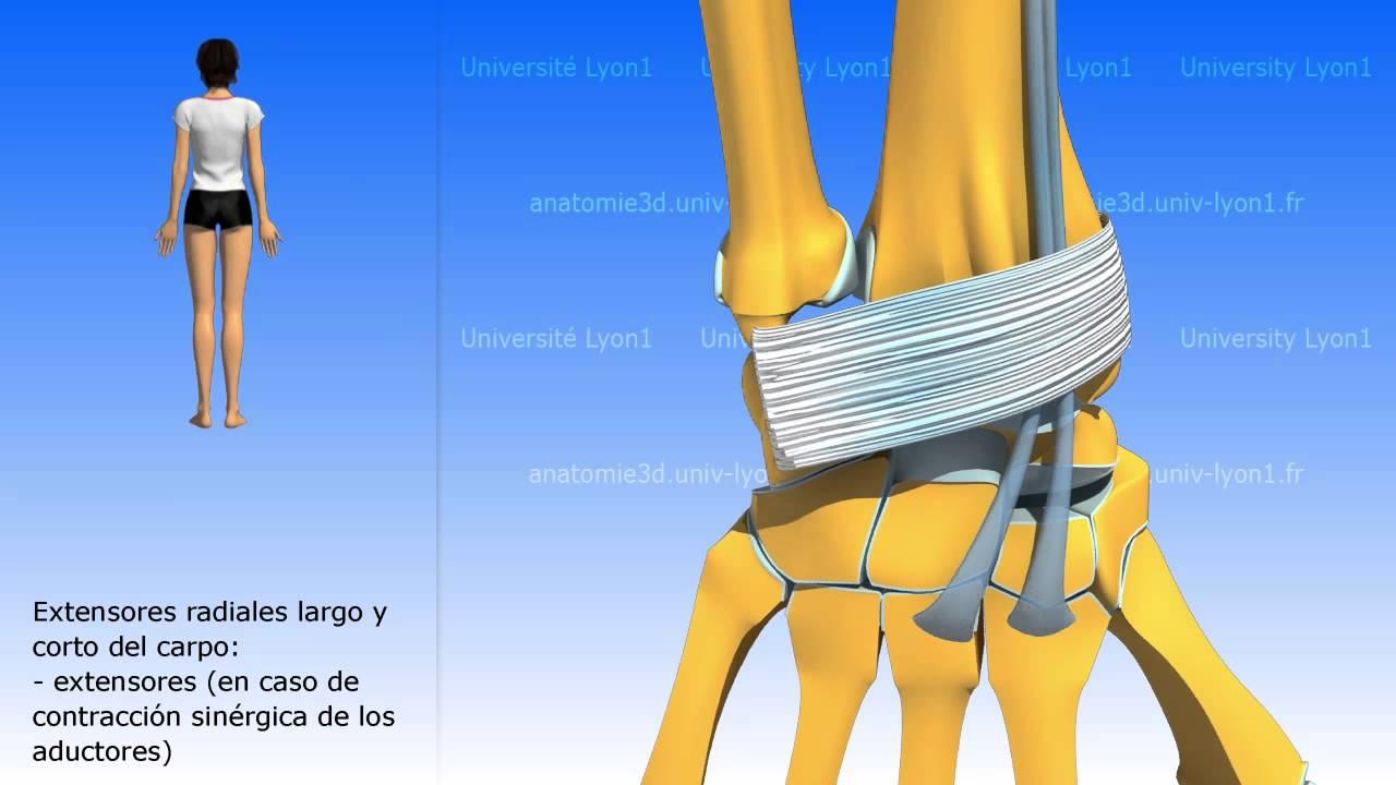 Principales músculos motores de la muñeca - YouTube