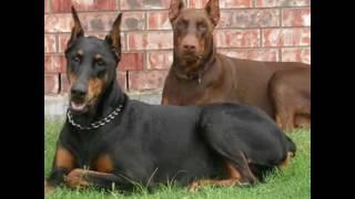 Все факты про породу собаки Доберман.🐕🐶🐺