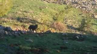 Природа и  жизнь Волк и дикие косули(, 2015-01-20T17:25:20.000Z)