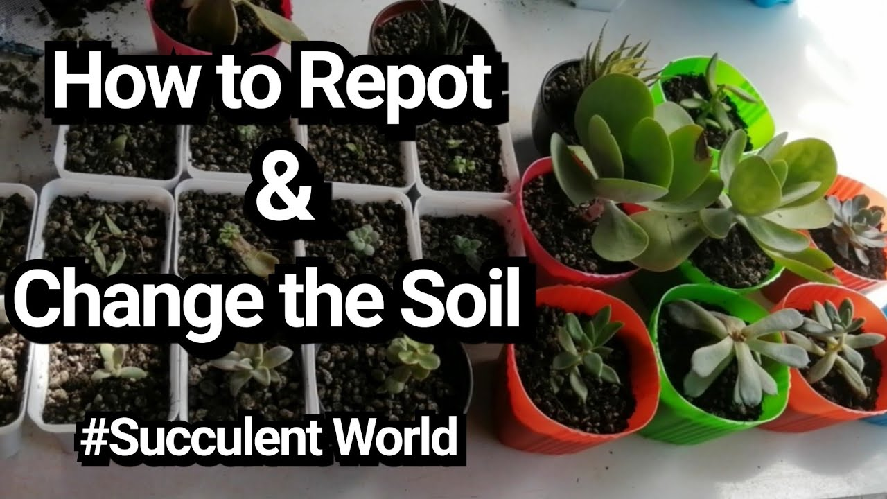 How To Repot & Change the Soil, Succulents World by Lola Malyn ang Tinderang Hardinera