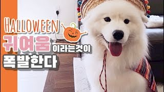 할로윈 코스튬 입고 파티를 다녀왔어요 l Samoyed tries on halloween costumes and goes to a party