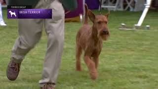 Irish Terriers | Breed Judging 2021