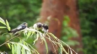 巣立ち後の子ツバメ7羽.