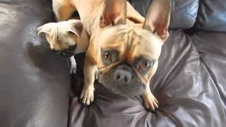 Puppy Wars - Pug Vs. French Bulldog - Smush Faces