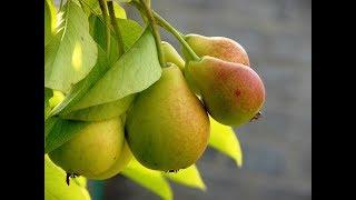 Сколько калорий в груше?