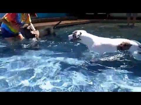 Great Dane Puppies learn to swim in a private dog swimming pool