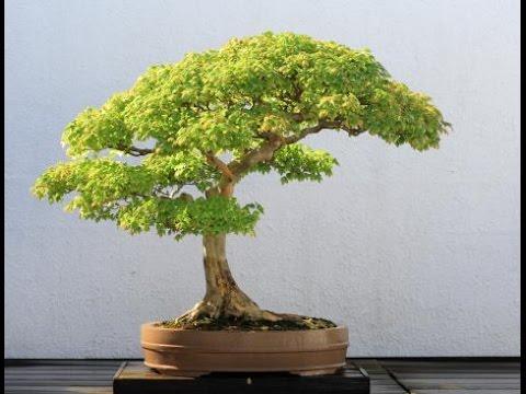 preserved bonsai tree youtube. Black Bedroom Furniture Sets. Home Design Ideas
