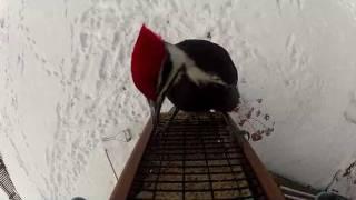 Wait For It...woodpecker