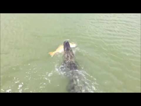 Thumbnail: Alligator steals large fish from a kid, fisherman