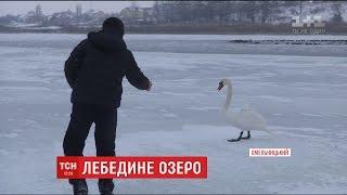 В Хмельницькому небайдужі намагаються врятувати від голоду та морозу стаю лебедей