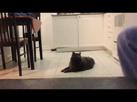 Bo the nebelung cat plays fetch