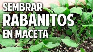 Como sembrar rabanitos en maceta Parte 1 - Trucos @cosasdeljardin