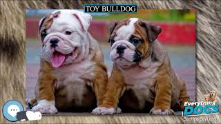 Toy Bulldog  Everything Dog Breeds