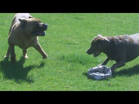 Shar Pei Alfie & labrador Frankie legging it at A & B Dogs Boarding & Training Kennels.