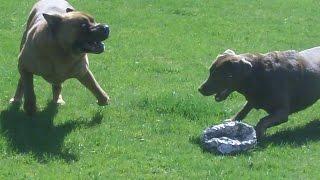 Shar Pei Alfie & Labrador Frankie Legging It At A & B Dogs Boarding & Training Kennels.