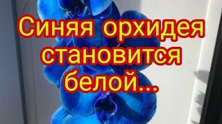 Синяя орхидея стала белой. Крашеные орхидеи. Обман в цветочном бизнесе.