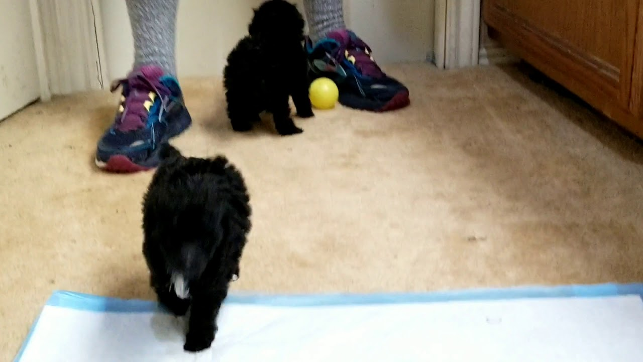Teacup Toy Purebred Poodle Puppies For Sale Austin Tx
