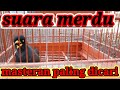 Masteran Jalak Kebo Gacor Isian Banyak  Mp3 - Mp4 Download