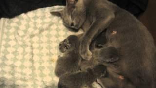 Новорожденные русские голубые котята