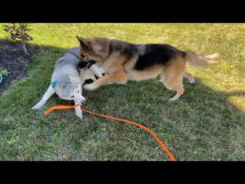 Patient shepherd is tired of Stubborn Husky's Antics