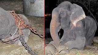 50 साल तक चैन से बांध के रखा गया था इस हाथी को   जब आजाद हुआ तो फुट फुट कर रोने लगा  Raju Story