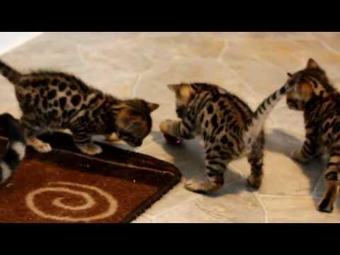 Phoenix/Turkey Bengal kittens - almost 5 weeks old