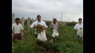 FIRST QUINOA CROP IN INDIA