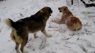 Central-Asian Shepherd dogs Közép-ázsiai juhász szukák