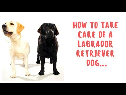 How To Take Care Of a Labrador Retriever Dog