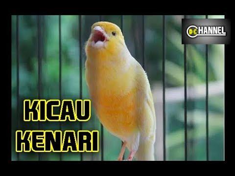 Download Lagu Suara Kenari Gacor untuk Masteran Kenari Durasi Panjang Full Isian   Kenari Juara Nasional