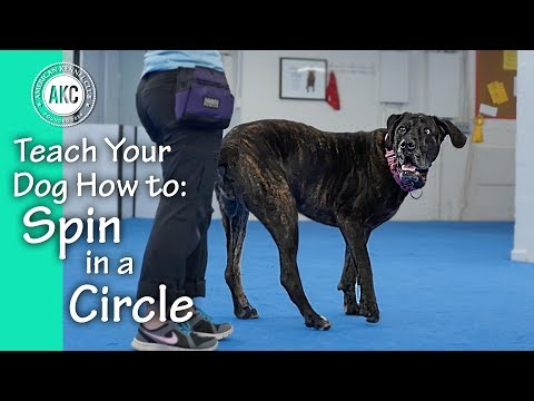 How to Teach Your Dog to Spin In a Circle - AKC Trick Dog