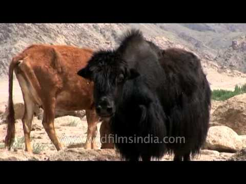 Female Yak And Cows