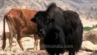 Yak and cows grazing in the Himalayan region of India.The diet of w...