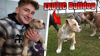 Holen WIR unseren WELPEN ab?   Exotic American Bully Tricolor   TomSprm
