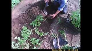 высадка рассады помидоров в грунт(сегодня покажем очередной этап выращивания помидоров - это высадка в грунт, большие горшки позволили нам..., 2014-04-24T16:40:26.000Z)