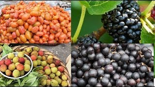 Here are the Top 5 rare fruits found in Northeast India