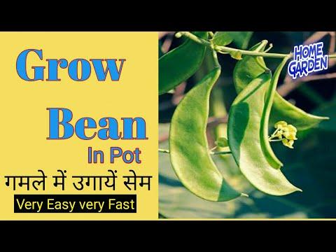 273# Growing Bean || छोटे गमले में सेम ( Bean ) उगानें का सबसे आसान तरीका