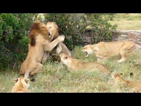 Lion Fight - Part I