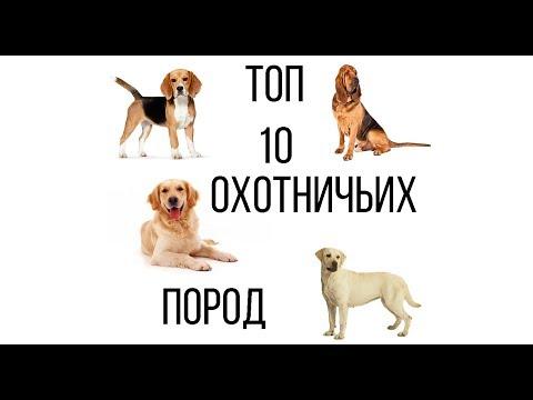 ТОП 10 ОХОТНИЧЬИХ СОБАК