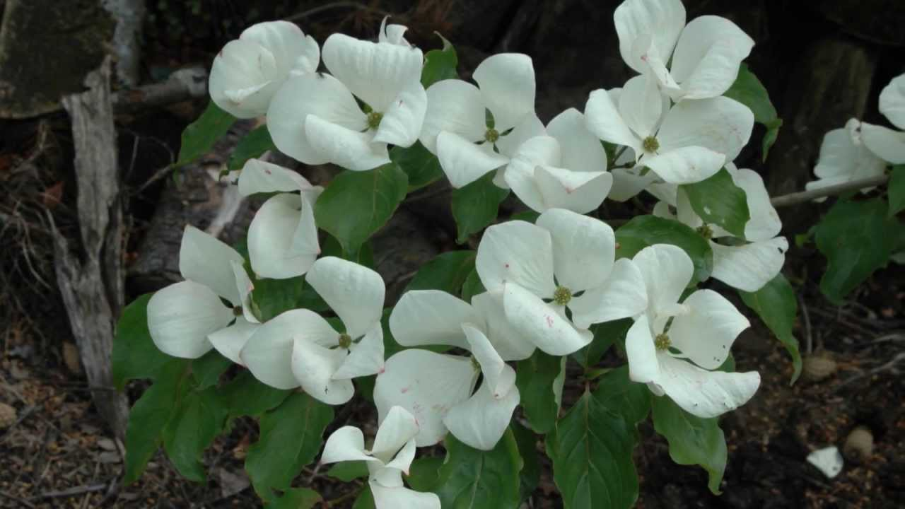 cornus x 39 venus 39 flowering dogwood youtube. Black Bedroom Furniture Sets. Home Design Ideas