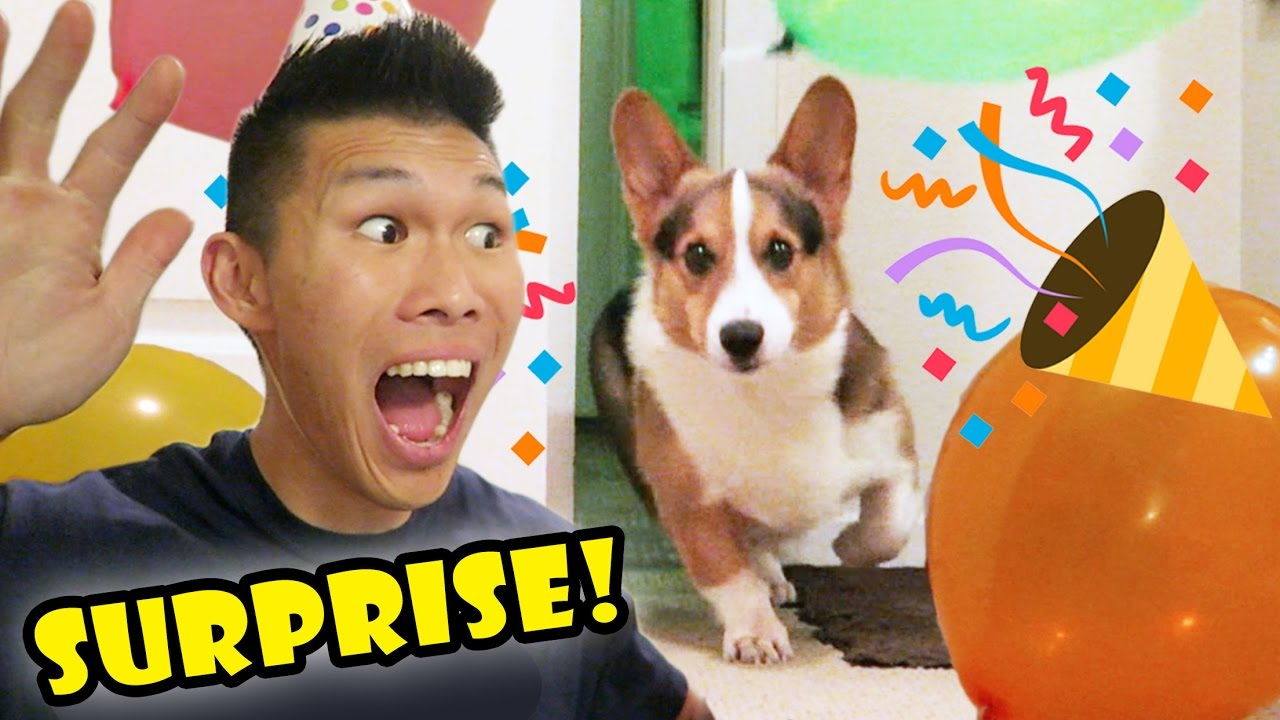 surprising-my-corgi-dog-w-a-birthday-party-life-after-college-ep-527