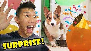 SURPRISING My CORGI Dog w/a BIRTHDAY PARTY ||...