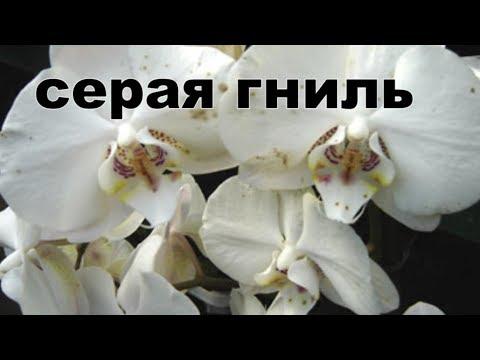 серая гниль как с ней бороться Черные точки на цветах орхидеи фаленопсис