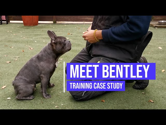 Helping a French Bulldog with aggression and resource guarding issues