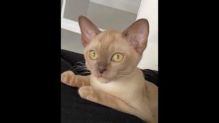 Chocolate Burmese cat