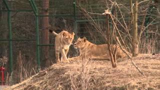 Lwy starają się o potomstwo