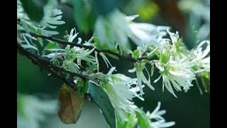 1,000-year-old loropetalum trees bloom| CCTV English