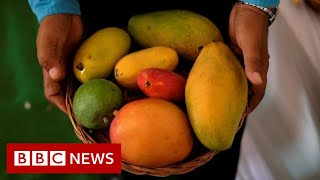 The mango so popular it has to be auctioned BBC News