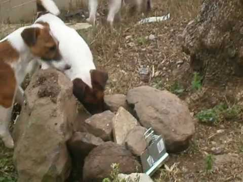 Fox Terrier pelo liso (treino caça ao rato).www.casaperes ...