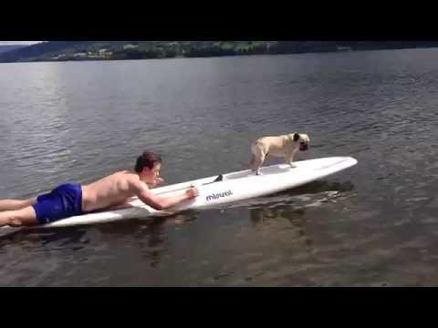 Cutest surfing dog loves working that board!